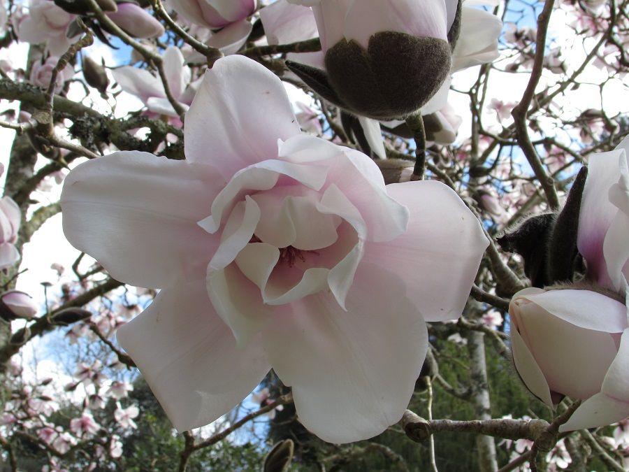 Cornwall is famous for its magnolias