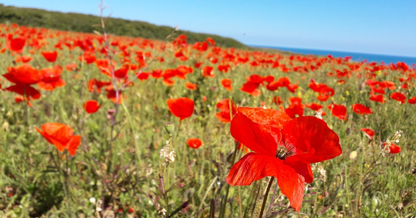 Polly Joke's spectacular poppies make it a popular place for walking in Cornwall in early summer