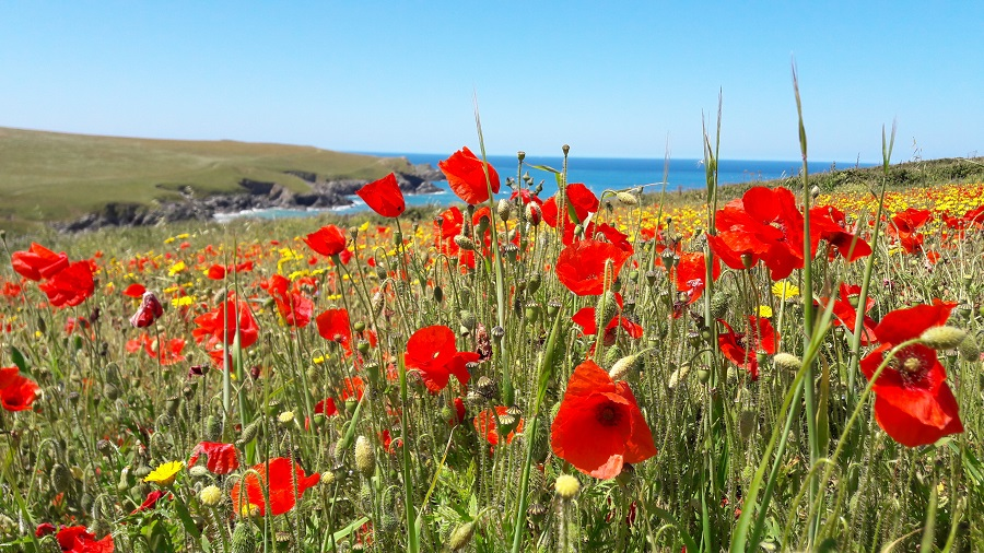 Enjoy magnificent wildflowers at Polly Joke in Cornwall