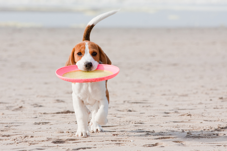 Small dog beagle puppy playing with on beach
