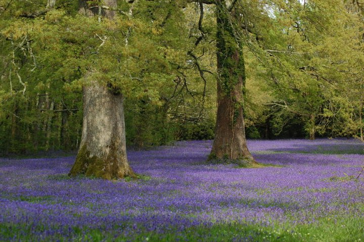Bluebells at Enys Gardens in Cornwall