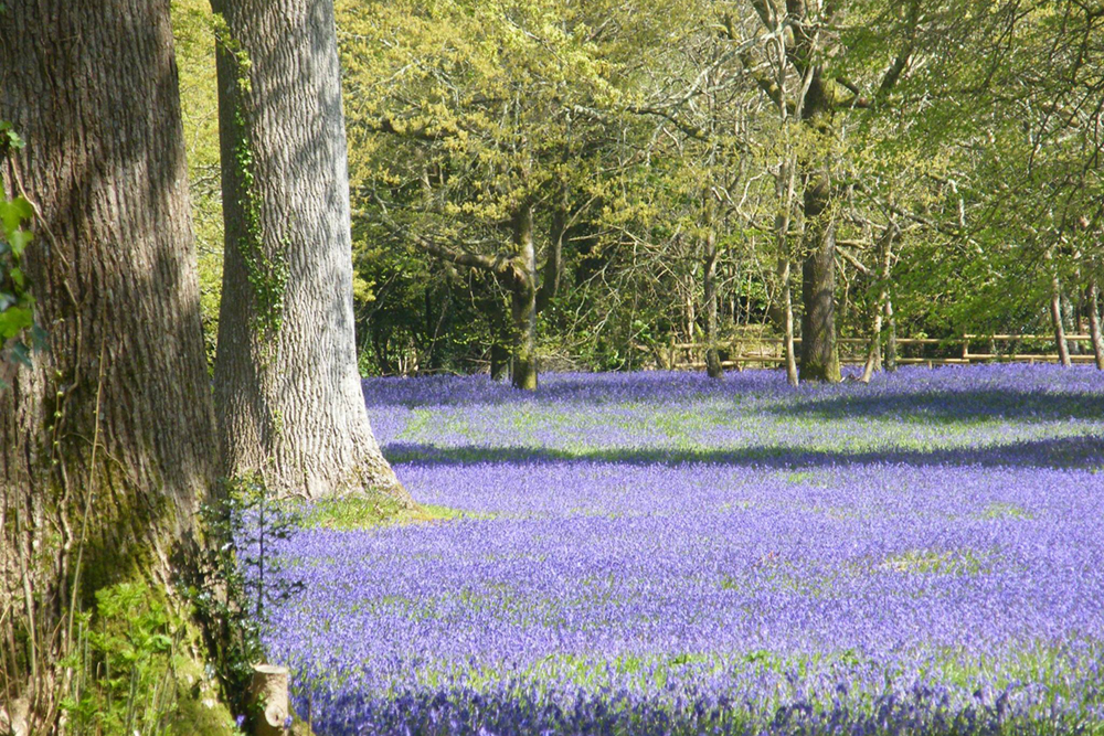 Bluebells at Enys Gardens near Penryn in Cornwall
