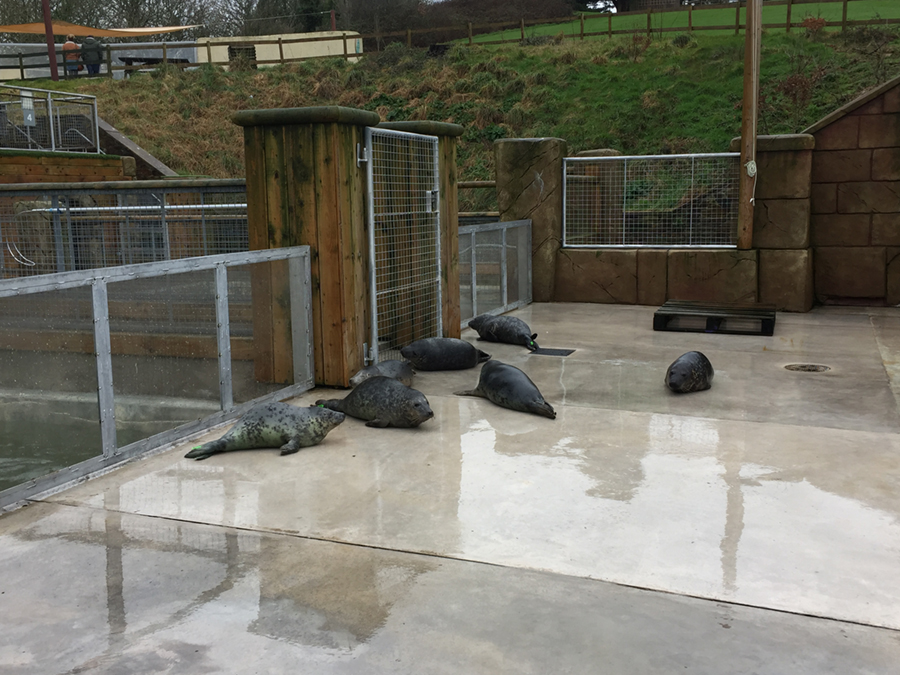 Seal pups rescued at the Cornish Seal Sanctuary in Gweek