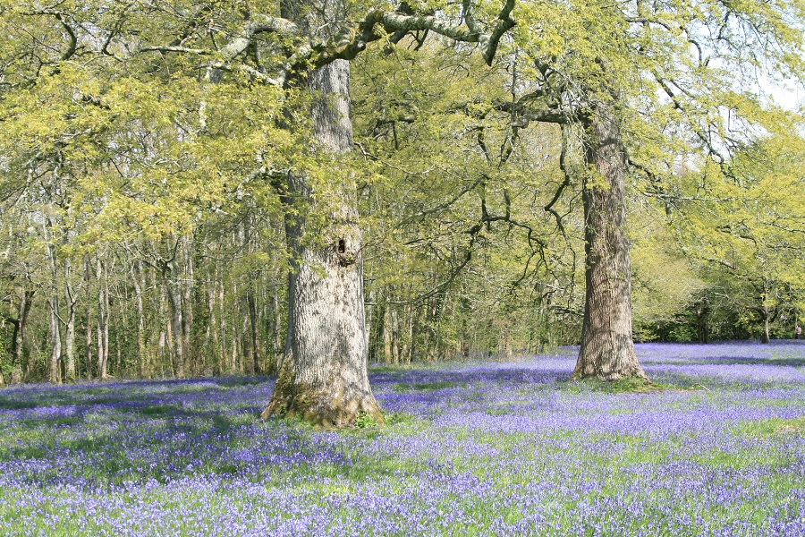 Bluebells at Enys Gardens, Cornwall