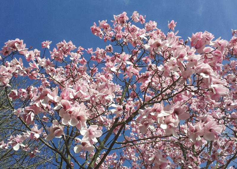 Magnolia at Trelissick Gardens