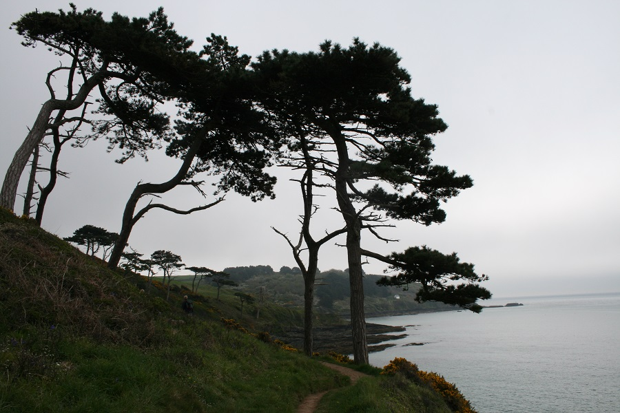 Maritime pines on the Roseland Peninsula