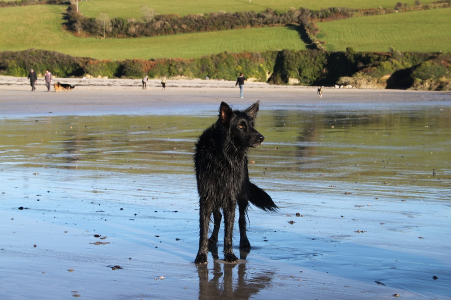 Dogs love Cornwall's beaches