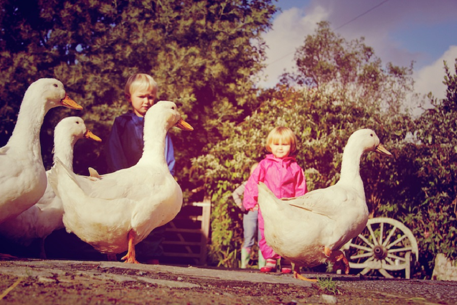 Bosinver's friendly ducks are popular with guests of all ages