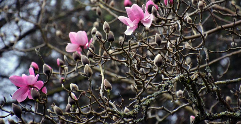 Magnolias at Trebah garden, Cornwall
