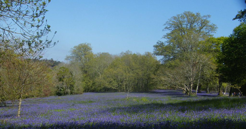 Bluebells at Enys Gardens near Penryn, Cornwall