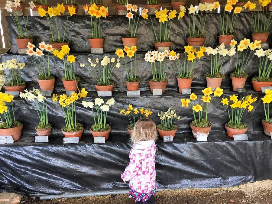 Daffodil show at Trelissick, Cornwall