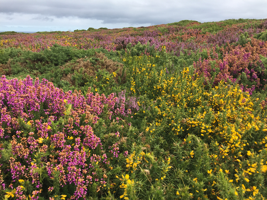 Gorse and heather