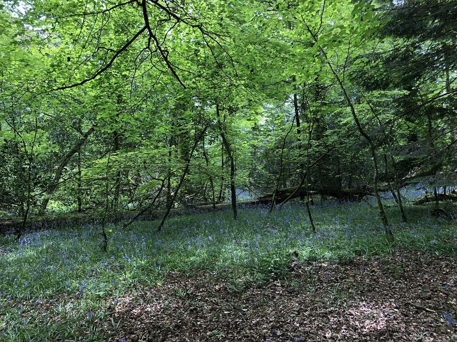 Bluebells in the woods at Lanhydrock