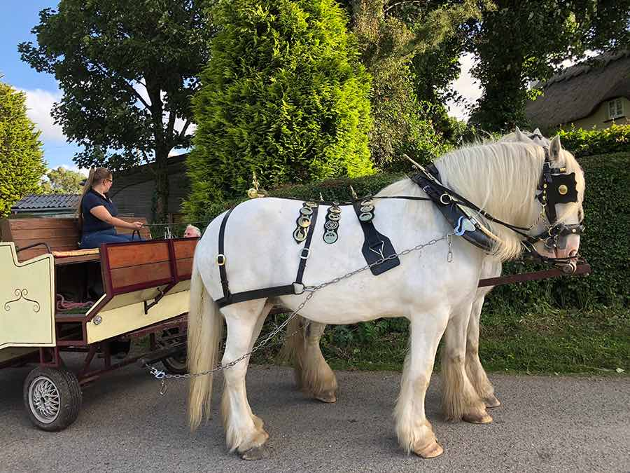 Briony of Pikna Shire horses arrives to pick up guests from Bosinver
