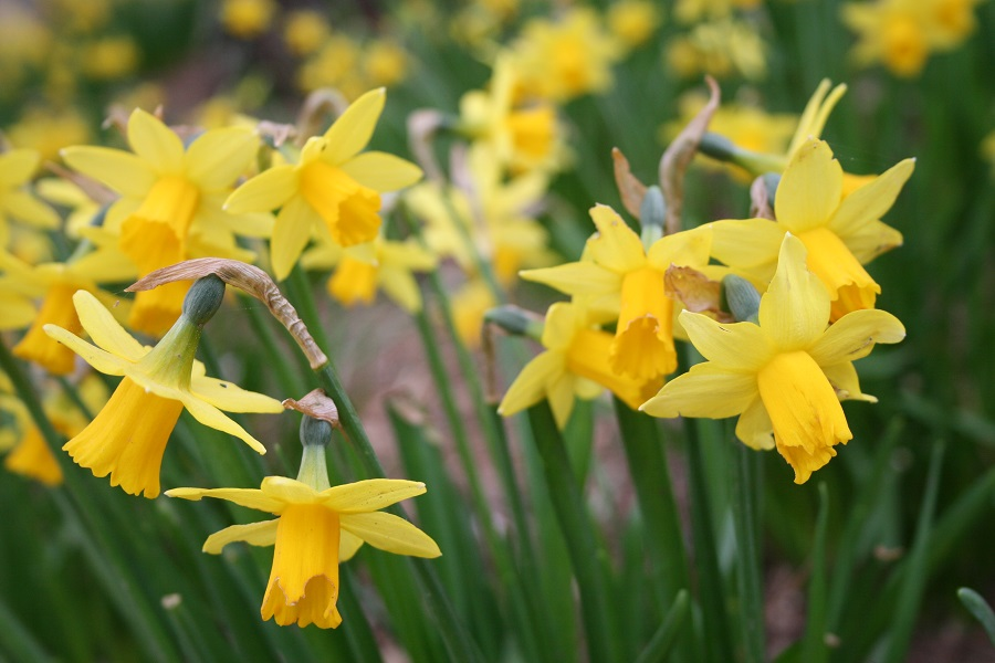 Daffodils at Bosinver