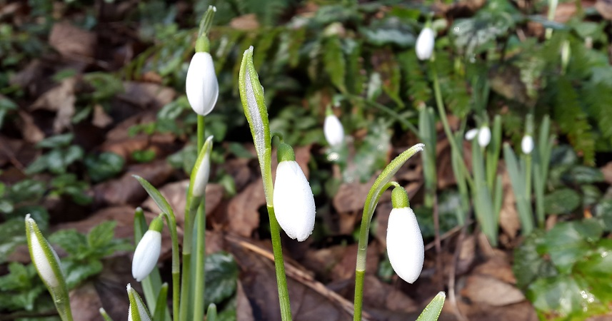 Snowdrops are the herald of spring